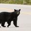 Amerikaanse zwarte beer of baribal (Ursus americanus)