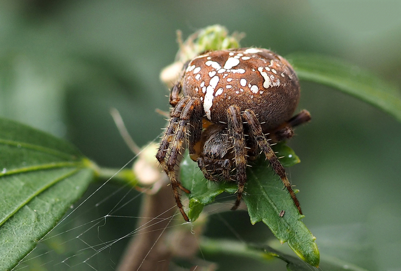 Een schrik voor vele mensen..... - Kruisspin (Araneus diadematus) vrouw<br /> <br /> Hoe komt ze aan dat kruis? Wetenschappers hebben ontdekt hoe de