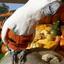 Mijn Witkuifkaketoe Maxi bekijkt vol interesse alle 'Halloween'-pompoenen.