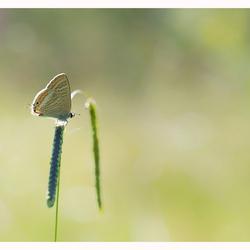 Tijgerblauwtje