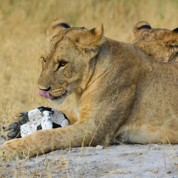 Botswana; Leeuw met voetbal
