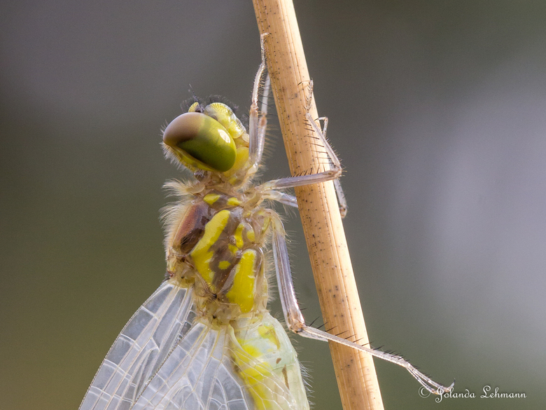 Heidelibel net na het uitsluipen - Deze heidelibel was net uitgeslopen. Je zag met de minuut de kleur in het beestje ontstaan. Een mooi proces om te a