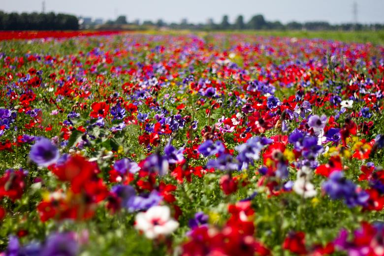 Bloeiende kleuren - Vol in bloei staande velden nabij Schiphol