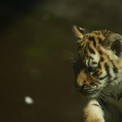 tijgerwelpje