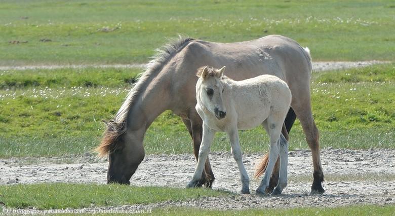Konikspaarden - Konikpaarden<br /> <br /> De konikpaarden behoren tot de grote grazers in het Lauwersmeergebied. Ze snijden het gras bijna tot de gr