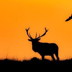 Het Edelhert en de Raaf