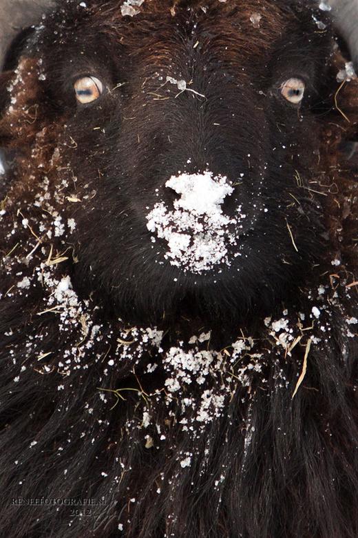 schaapie - Een Ouessant ram, geniale dieren zijn het!