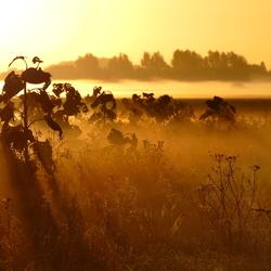 Bloemenveld in mistig ochtendlicht