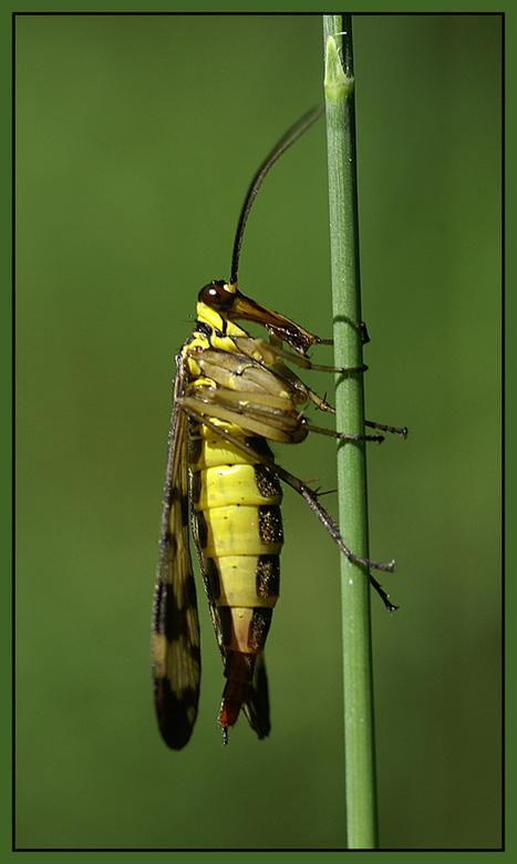 Schorpioenvlieg - Deze Schorpioenvlieg liet zich even mooi bewonderen en vastleggen!<br /> <br /> Iedereen weer bedankt voor de leuke commentaren op