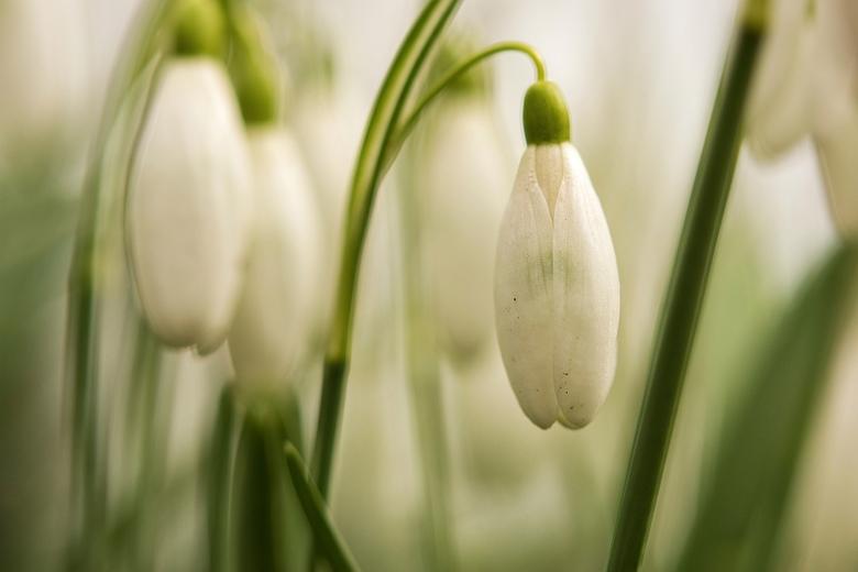 Als de Lente komt.... - Lente bodes in het Sterrenbos,<br /> de plek bij uitstek voor mij, als het op sneeuwklokjes en krokusjes aan komt.<br /> <br