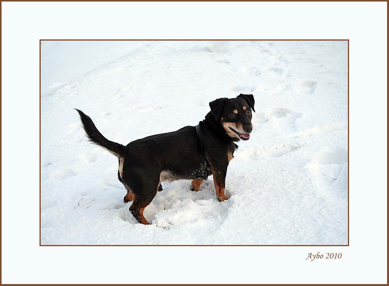 Aybo - Bedankt voor de reacties op mijn vorige foto .Dit is een foto van Aybo onze jack russel van bijna 6 jaar oud .Wel even in het groot bekijken <i
