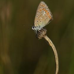 Acaciablauwtje met dauw