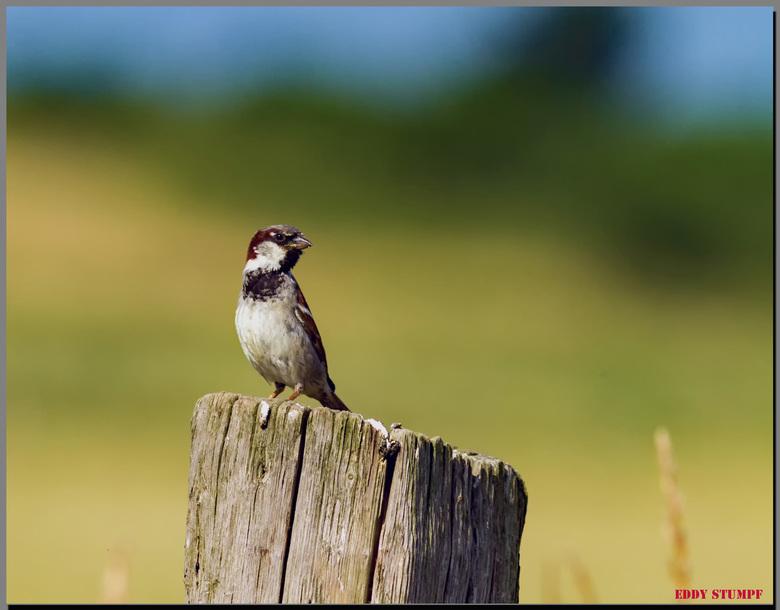 Portret van een mus - huismus op een paal  in de polder  normaal zit daar een buizerd maar deze <br />  is voor mij ook een mooi beeld om op de plaat