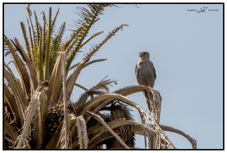 Grijze torenvalk, Gambia