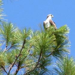 jonge eagle