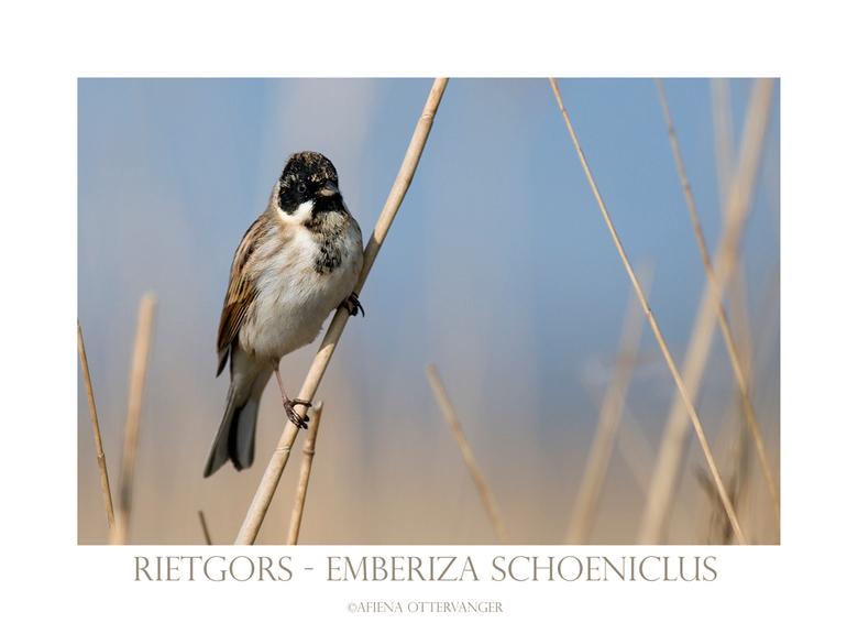Rietgors Emberiza schoeniclus - De rietgors zat afgelopen donderdag al vrolijk te zingen, heerlijk voorjaar!<br /> Bedankt voor de reacties bij de He
