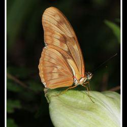 Dryas julia