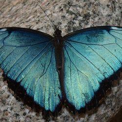 blauwe Morpho-vlinder