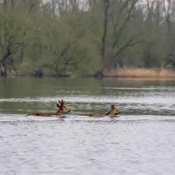 Overzwemmende Reeën . Biesbosch .