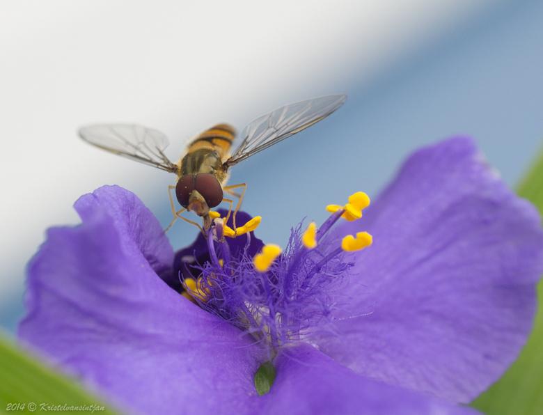 Zweefvliegje op ééndagsbloem - Ik heb zoveel geluk gehad dat ze mijn richting uitkeek
