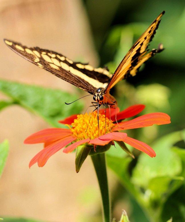 Beautifull Butterfly - In de vlindertuin van Artis.