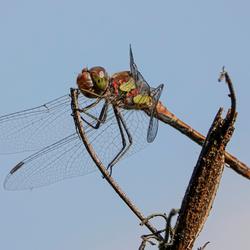 De Bruinrode Heidelibel