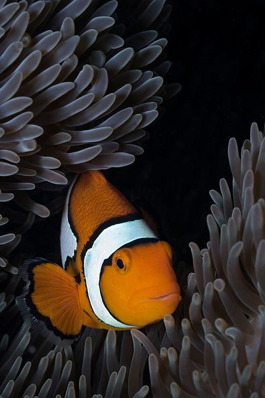 Eastern Clownfish - Echte Oosterse Anemoonvis