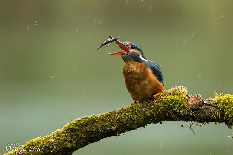 IJsvogel moet ook eten als het regent - In de gietende regen heel fijn foto's kunnen maken van een paar ijsvogels. Deze had een lekker stekelbaar