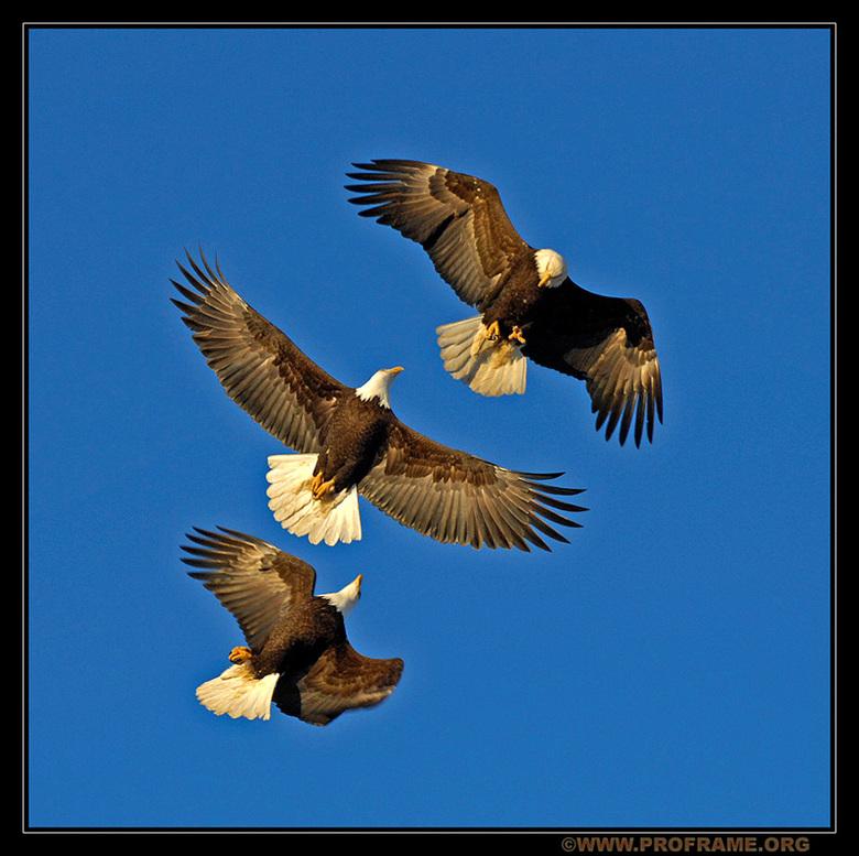 Awsome Threesome - In eerste instantie will ik bij deze iedereen die op mijn vorige bald eagle foto gereageerd heeft van harte bedanken. Deze foto heb