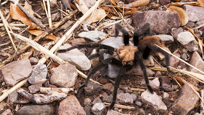 Tarantula - goed kijken waar je je voeten neerzet als je een wandeling maakt.<br /> Window trail, Big Bend National Park, Texas