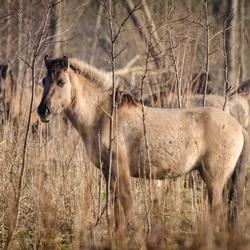 Konikpaard in 'De stille kern'