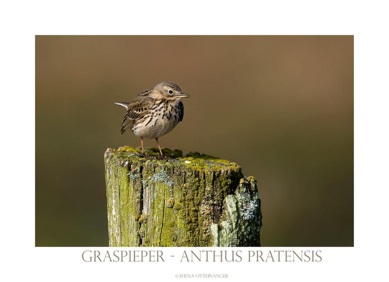 Graspieper - Ook deze graspieper ging even poseren aan het Lauwersmeer afgelopen donderdag, ik zat daar eigenlijk te wachten op een grutto maar die li