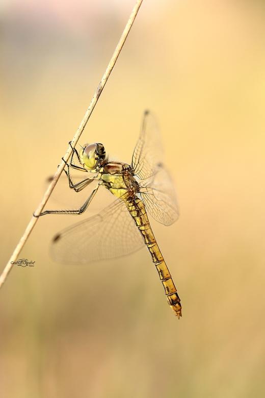 Heidelibel * - de Heidelibel , <br /> hangend aan een grasspriet.<br /> Stil.. zachtjes wiegend in de wind.<br /> door het  mooie avond licht..<br