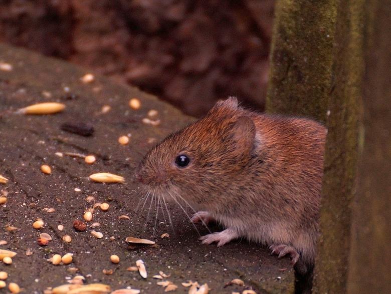 als de kat van huis is.... - danst de muis op mijn voedertafel!