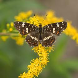 Een ander vlindertje ...