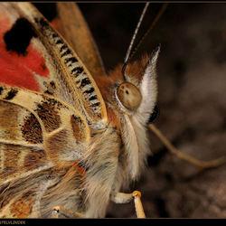 Microfotografie: extreme close-up van de Distelvlinder.