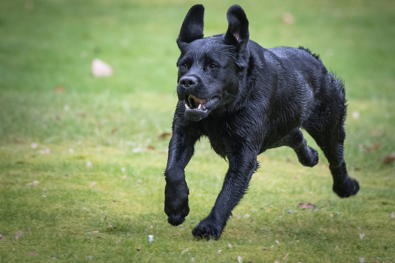 black lab - Vanmiddag even gespeeld met de D500 van een vriendin. Haar hond bleek erg gewillig om te helpen het autofocus systeem van de camera te tes