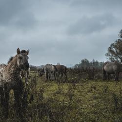 Konikpaarden in Meinerswijk