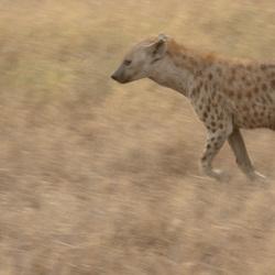 Hyena op zoek naar eten