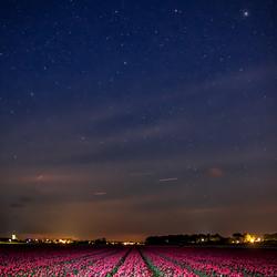 Tulpen bij nacht.