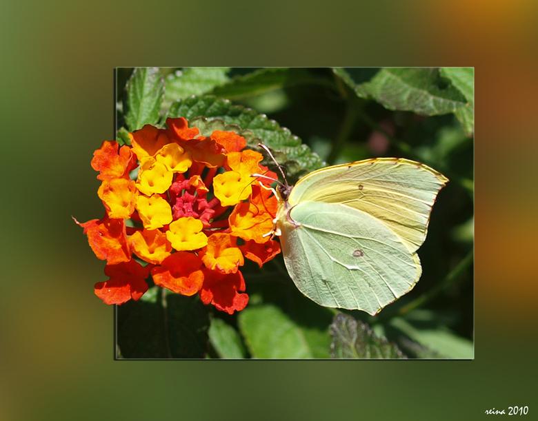 """Een vlinderparadijs. - Echt een vlinderparadijs is het op Sicilie. Maar stil zitten ho maar <img  src=""""/images/smileys/smile.png""""/> Een enkeling ging"""