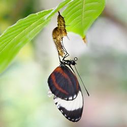 Verse Vlinder