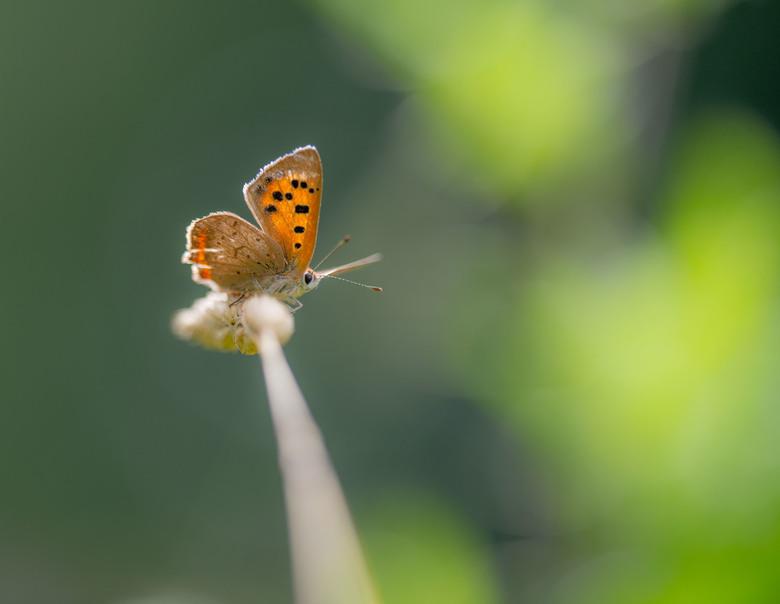 Drukke tijden - De vleugels van dit kleine vuurvlindertje begint al ietwat slijtage te vertonen.