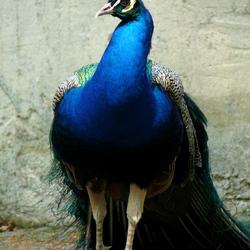 Wonderblauw