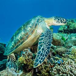 Schildpad lekker aan het chillen op het rif