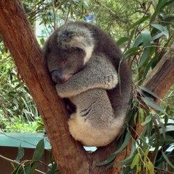 Slapende Koala