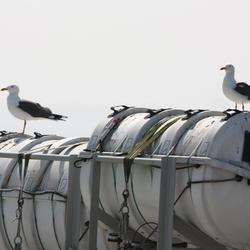 Twee zeemeeuwen op de wacht (veerboot Texel)