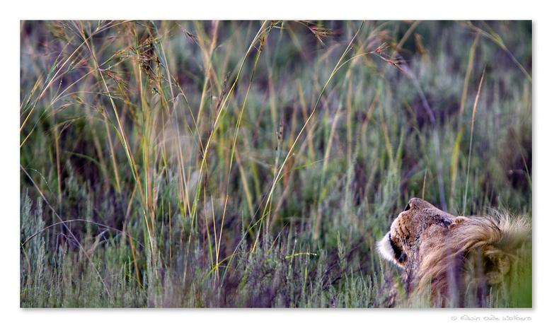 Waking Up - Leeuw 's ochtends in het gras. Deze vent was net aan het wakker worden.