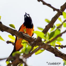 Troepiaal Vogel