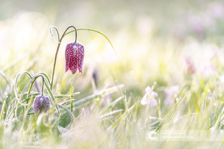 De paars geblokte kievitsbloem - De Zwolse tulp maar dan in de uiterwaarden langs de IJssel bij Kampen gefotografeerd. Je moet er wat kou voor willen